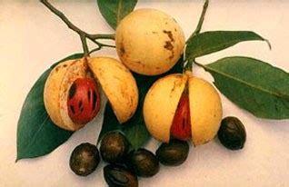 Minyak Atsiri Biji Pala 18 manfaat buah atau biji pala kesehatandia