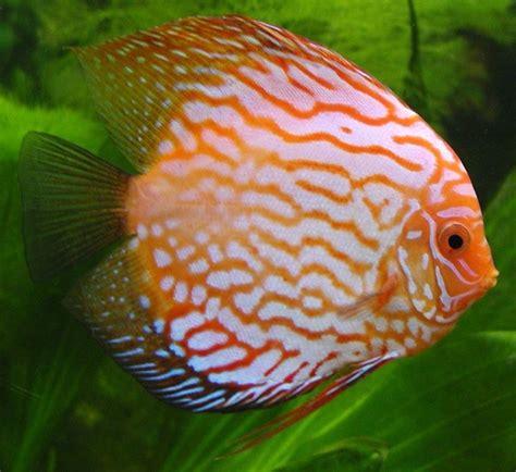 celentano due caratteri diversi pesci acqua dolce acquario pesce pesci d acqua dolce