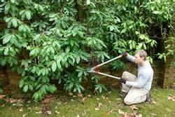 garten azalee schneiden azalee schneiden tipps zum zur 252 ckschneiden hausgarten net