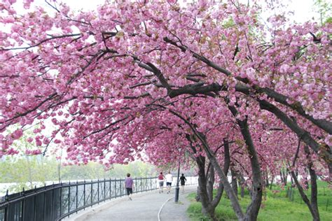 japanese blossom tree travel adventure cherry blossoms