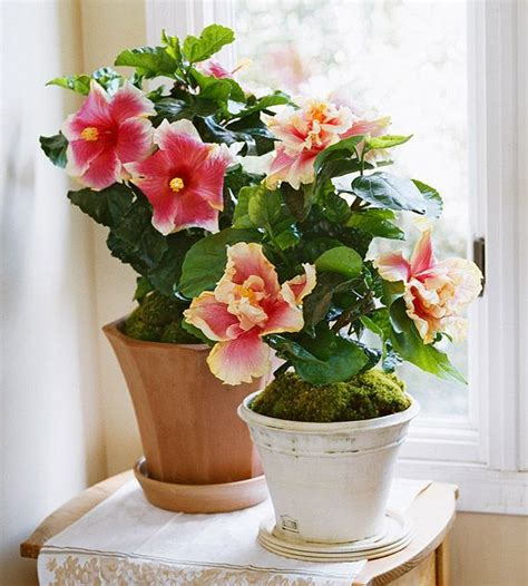 best plants to grow indoors in low light 25 best ideas about indoor flowering plants on pinterest