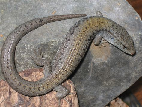 Crocodile Pedro Brown northern alligator lizard wikiwand