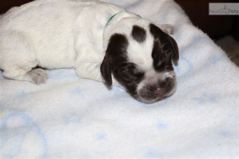 wirehaired pointing griffon puppies price 13 green2 wirehaired pointing griffon puppy for sale near janesville wisconsin