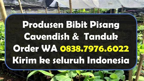 wa 0838 7976 6022 supplier bibit pisang cavendish tanduk