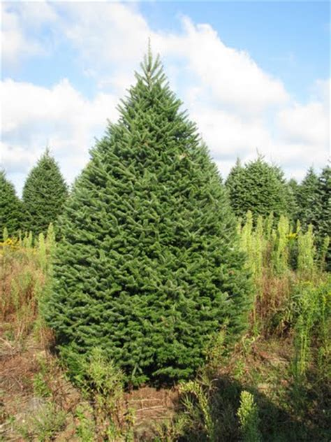 environmental facts about christmas trees crete