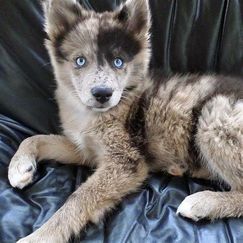 beautiful puppy dogs 25 best ideas about beautiful dogs on most beautiful dogs blue eyed