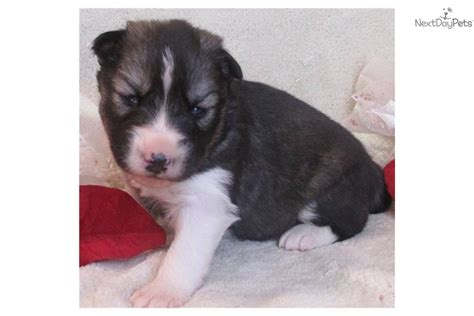 husky puppies for sale in md meet a siberian husky puppy for sale for 850 akc agouti white husky