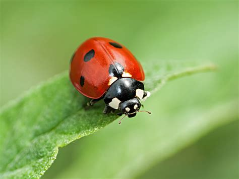 fantastic 5 beneficial bugs to in your home the ladybug