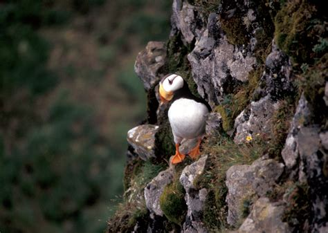 this little puffin english wooks file horned puffin hall island jpg wikipedia
