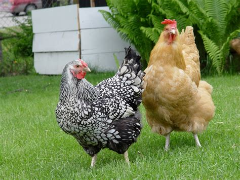 Backyard Chickens Birds Reduce The Risk Of Bird Flu In Backyard Chickens Green