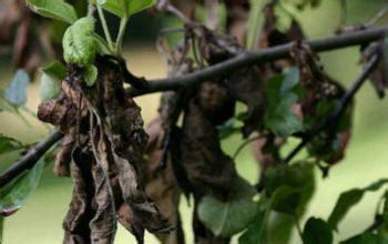 fruit tree fungus identification apple tree diseased how to cure apple tree diseases
