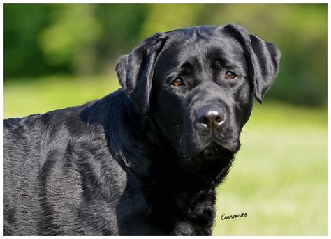 black lab puppies for sale in nj buy labrador retriever nj dogs our friends photo