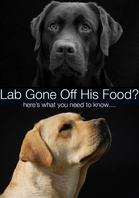 dog won t eat his food but will eat treats my labrador won t eat his food any more