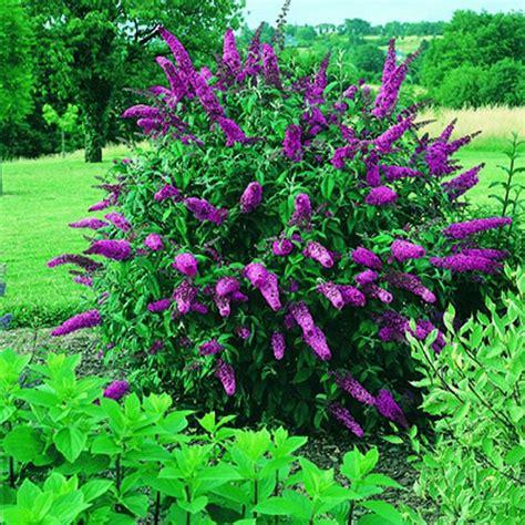 Winterharte Pflanzen Für Terrasse 843 by Schmetterlingsflieder Buddleja Rot Pflanzen Aus