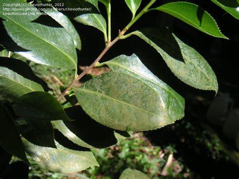 garden pests  diseases pictures  camellia leaf