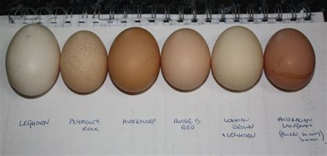 barred rock egg color leghorn plymouth rock australorp rhode island etc