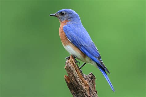 bluebirds nesting in your yard blain s farm fleet blog