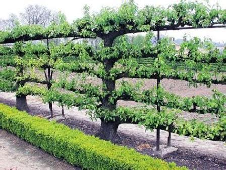 espalier support trellis green permaculture
