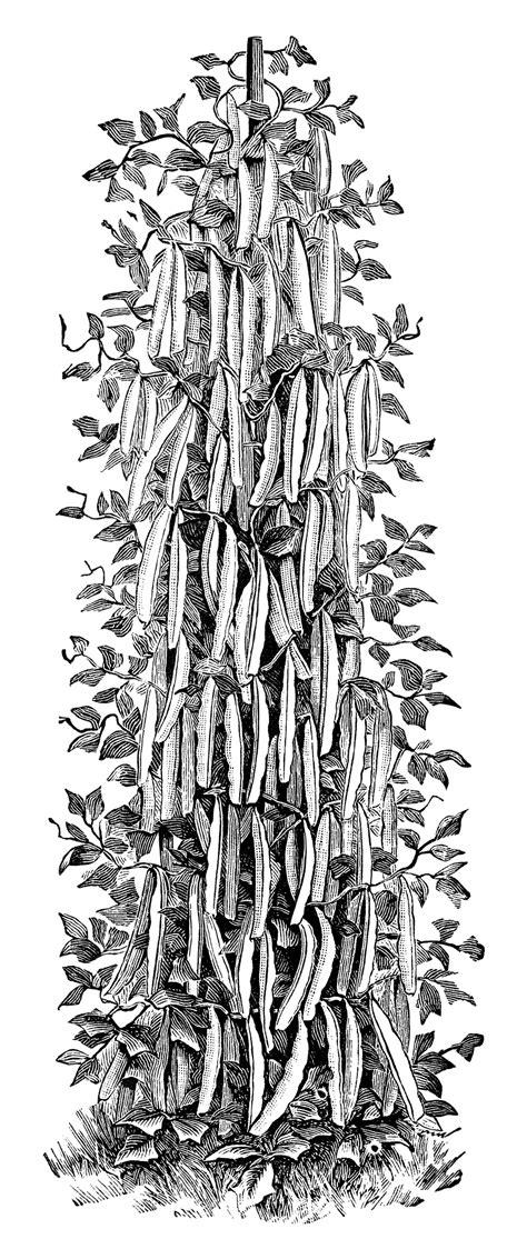 climbing beans  pole beans  design shop blog