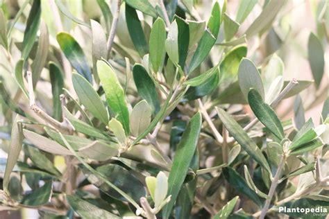 Pflege Oleander by Oleander Nerium Oleander Pflanzen Pflege Und Schneiden