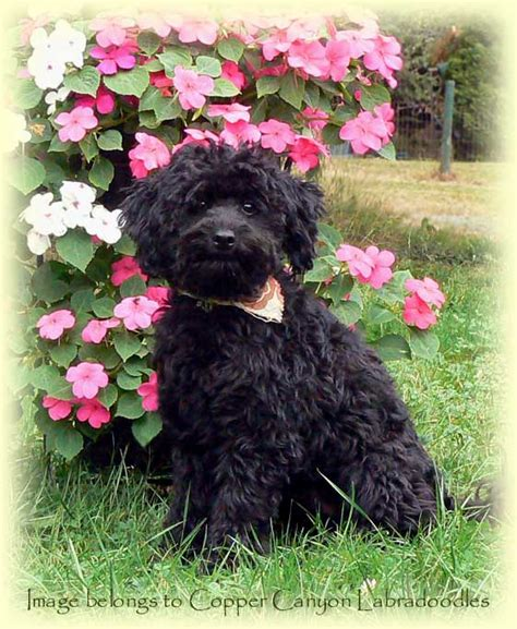 mini labradoodles island miniature australian labradoodle litters for adoption
