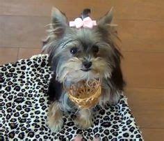 world s smartest yorkie misa minnie on yorkie terrier and so
