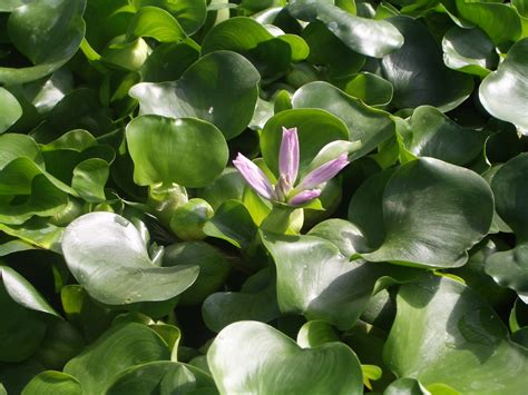 freshwater plants kinds  ornamental plants