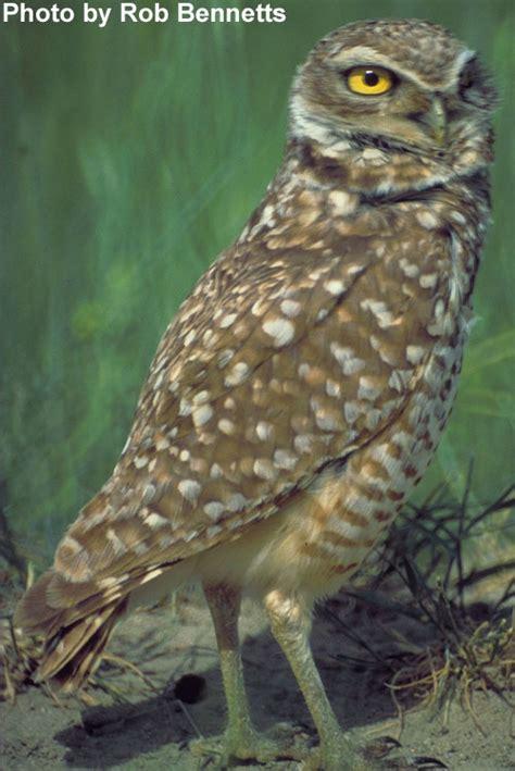 bird photos burrowing owl