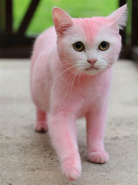 Cats Pink 17 best images about painted cats on cats