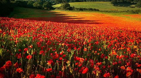for remembrance day breathtaking photos of poppy fields
