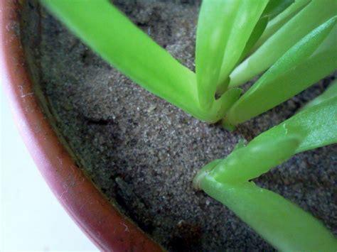 Ableger Aloe Vera by Aloe Vera Durch Ableger Vermehren 187 So Geht S