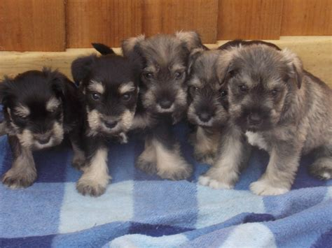 schnauzer puppies for sale miniature schnauzer puppies for sale ashford kent pets4homes