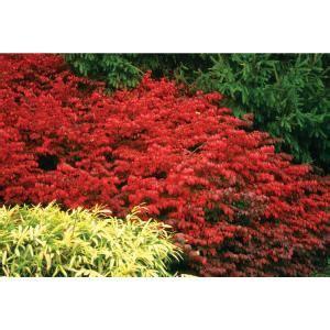 proven winners   qt fire ball burning bush