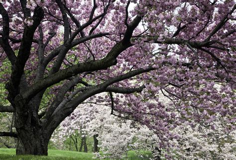 3302 cherry tree circle magnificent trees the new york botanical garden the culture concept circle