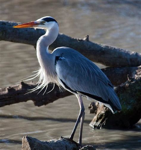 17 Best images about czapla siwa / blue heron on Pinterest
