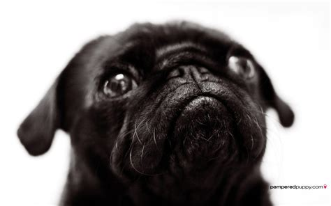 black and pug black pug wallpapers wallpaper cave