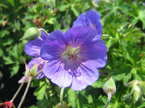 Geranium by Romantic Flowers Geranium Flower
