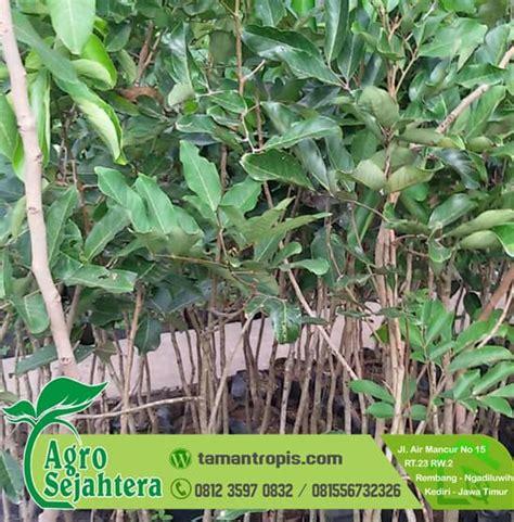 Bibit Pohon Rambutan jual bibit rambutan