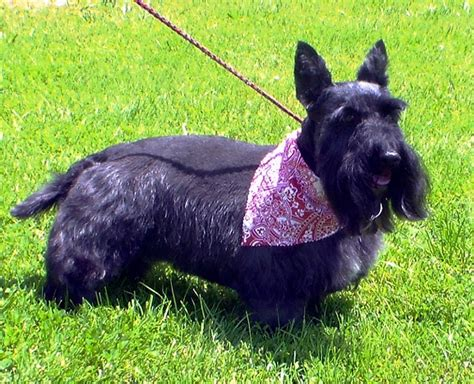 hair cuts for a scottish terrier haircuts pet motel and salon