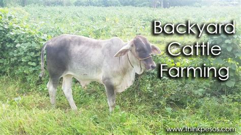 backyard cattle raising backyard cattle farming investment option in the philippines