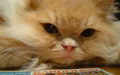 Persian Cats   Top 7 Amazing Persian cat pictures   Cutest