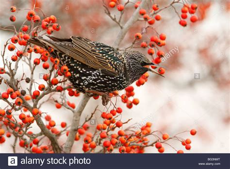 european starling eating hawthorn berries stock photo