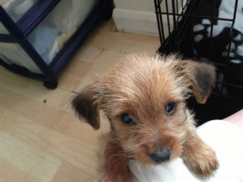 yorkie dogs for sale uk miniature terrier rescue uk dogs our friends photo
