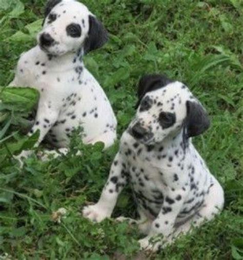 dalmatian puppies for sale iowa dalmatian puppies for sale in oklahoma baby animals dalmatian