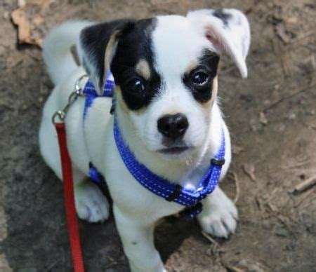 russel terrier pug mix toby russel terrier and pug mix things i want the o jays