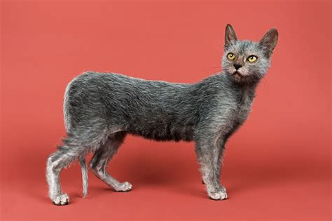 a cat for the lykoi cat a new breed pets4homes