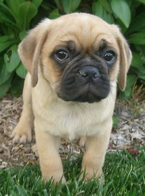i want a pug puppy puggle pug beagle mix animals i wish i could puppys i want and