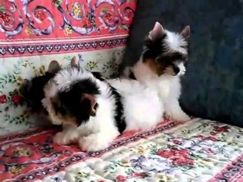 biewer vs yorkie micro teacup poodles vs biewer yorkie puppies