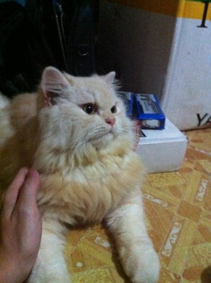 Kucing Medium Hair kucingsaya it s all about cats