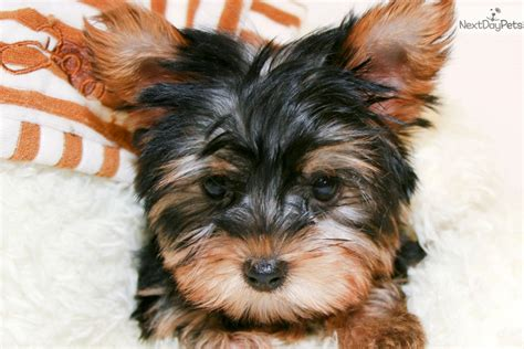 yorkies for sale columbus ohio yorkie puppy for sale in columbus breeds picture